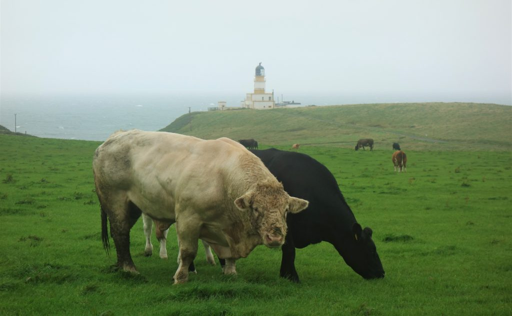 Coastal Road Trip, Black Head, Lighthouse, Cows