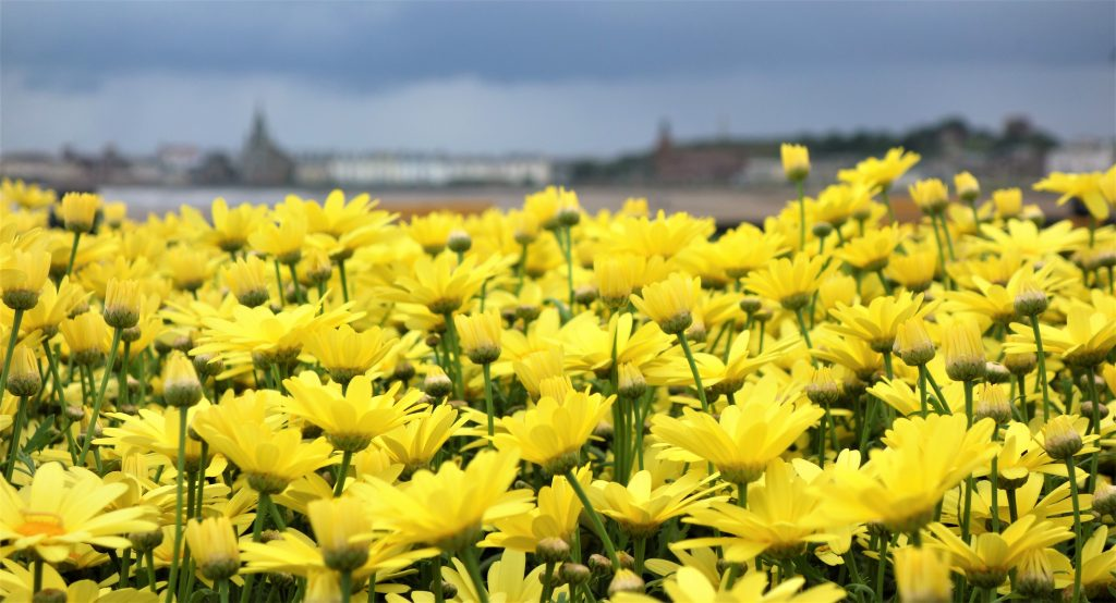 Coastal Road Trip, Ardrossan, Flowers