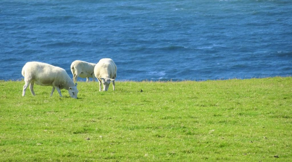 Coastal Road Trip, Coastal Road, Sheep