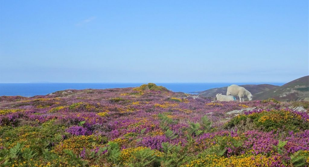 Coastal Road Trip, Braich y Pwll, Heather, Sheep