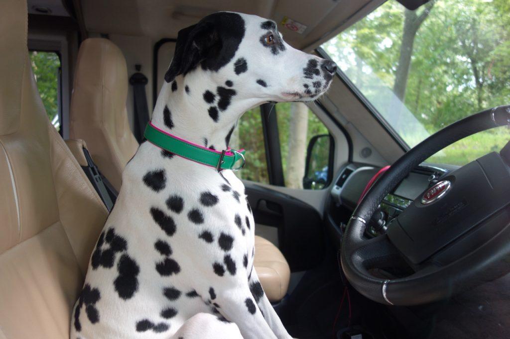 Coastal Road Trip, Dunrobin Castle, Dalmation, Waiting, Sitting in Car