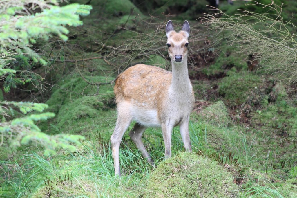 Coastal Road Trip, Mull of Kintyre, Deer