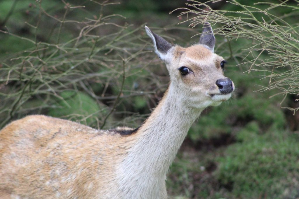 Coastal Road Trip, Mull of Kintyre, Feorlan, Deer, close up