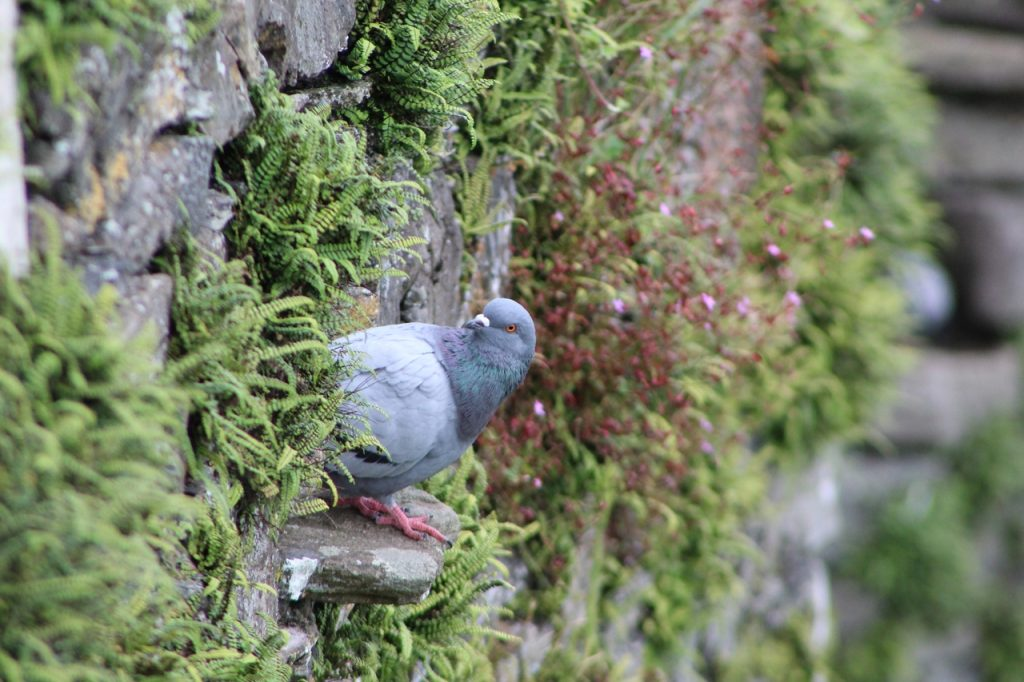 Coastal Road Trip, Dunstaffnage Castle, Pigeon