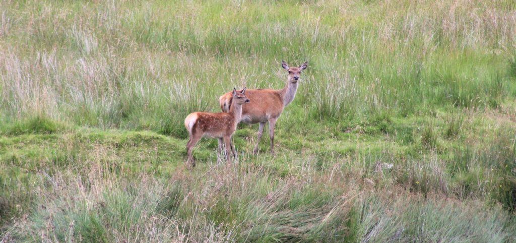 Coastal Road Trip, Gleann Geal, Deer
