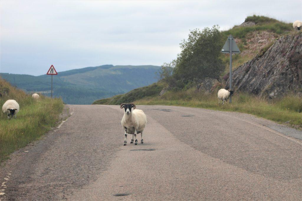 Coastal Road Trip, Gleann Geal, Sheep
