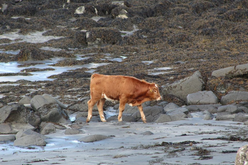 Coastal Road Trip, Staffin Bay, Beach, Cow