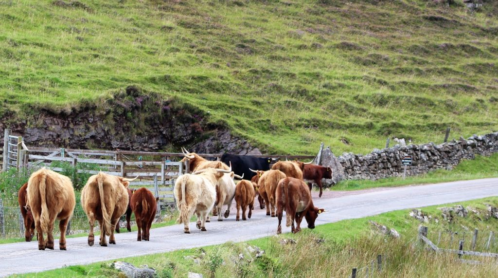 Coastal Road Trip, Stoer, Cows in road