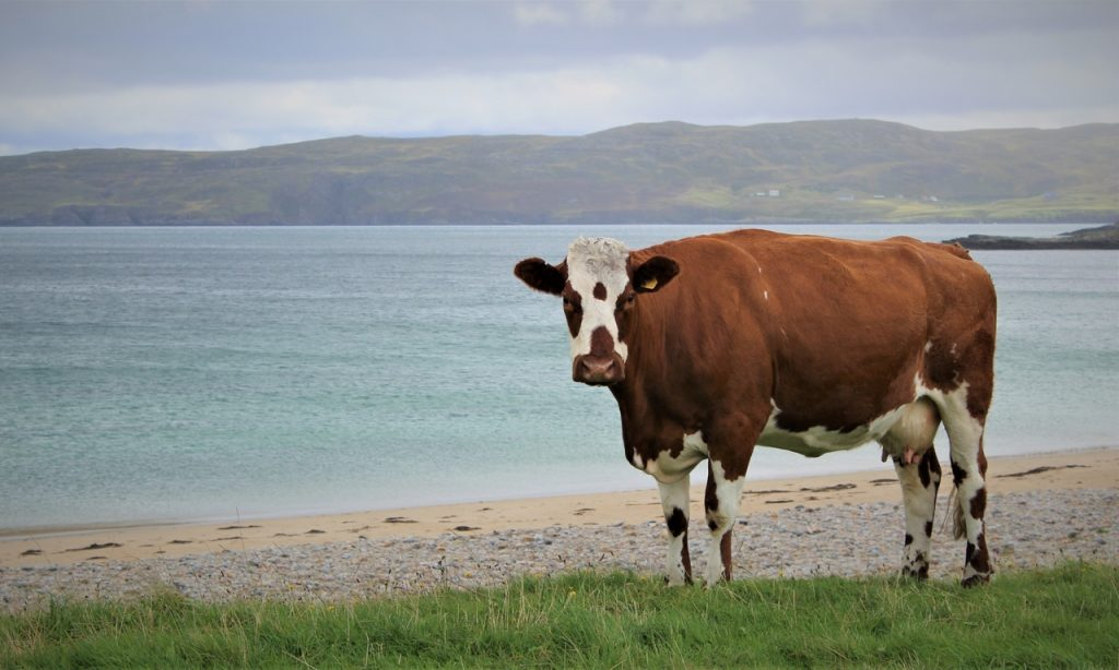 Coastal Road Trip, Talmine Bay, Melness Coast, Kyle of Tongue, Beach, Cow