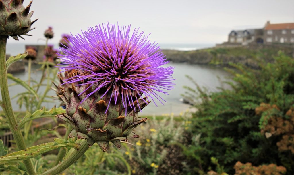 Coastal Road Trip, Craster Harbour, Flower, Purple
