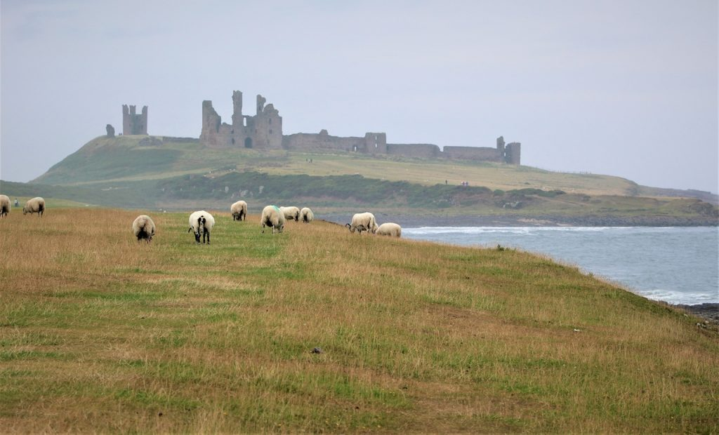 Coastal Road Trip, Craster, Dunstanburgh Castle, Sheep, Field