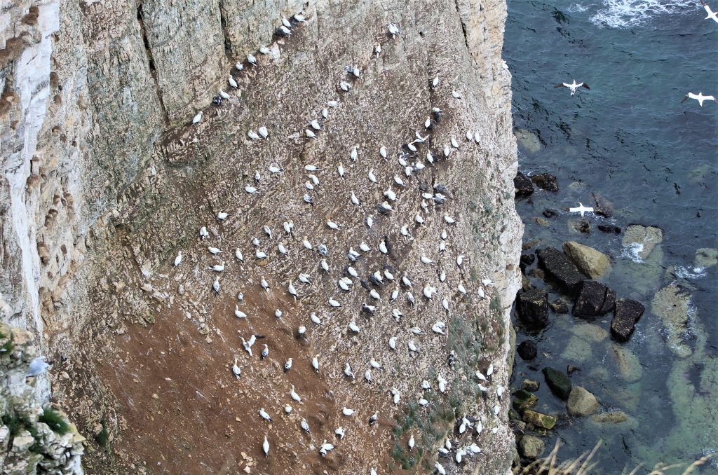 Coastal Road Trip, Bempton Cliffs, RSPB, Gannetts, Birds