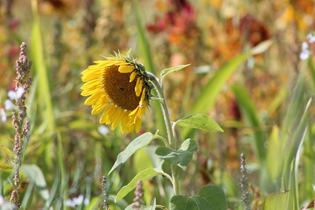 Coastal Road Trip, Benachre, Waveney, Suffolk, Sunflower, Fields