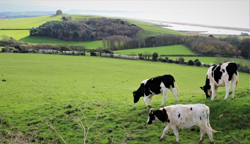 Coastal Road Trip, Abbotsbury, Cows, Abbotsbury Abbey, B3157, Abbotsbury Hill, Chesil Beach