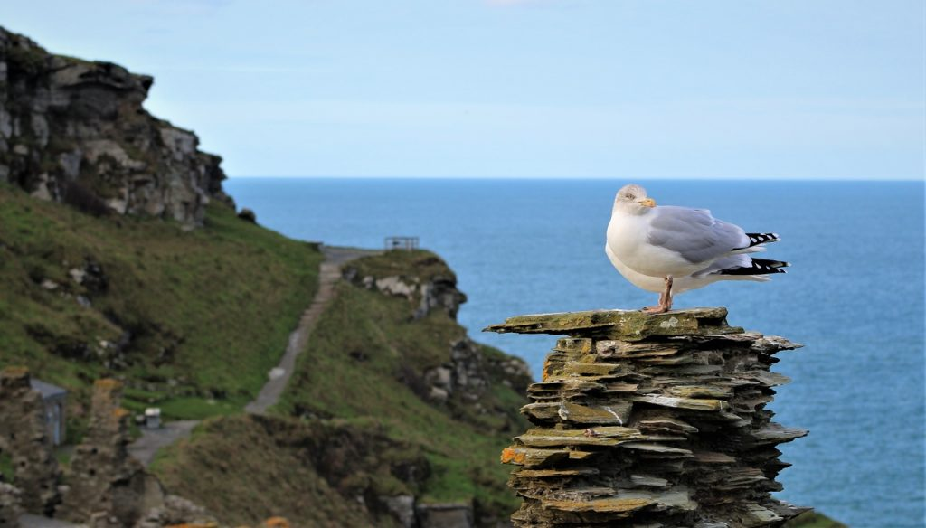 Coastal Road Trip, Tintagel Castle, Seagull, English Heritage